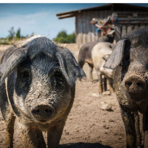 Pig farms leach coliform contaminated water into your well.